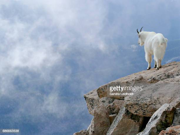 Mountain Goat High Up in the Colorado Rocky Mountains