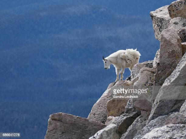 Mountain Goat Near Summit of Mount Evans - Colorado