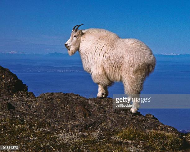 mountain goat on a ridge - herbivorous stock pictures, royalty-free photos & images