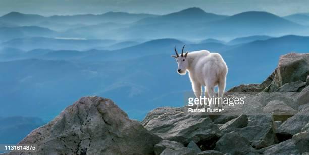 Mountain Goat on Mount Evans in Colorado
