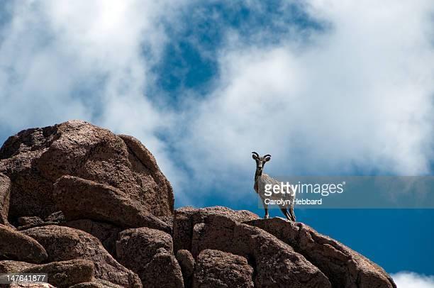 Mountain Goat on rock cliff