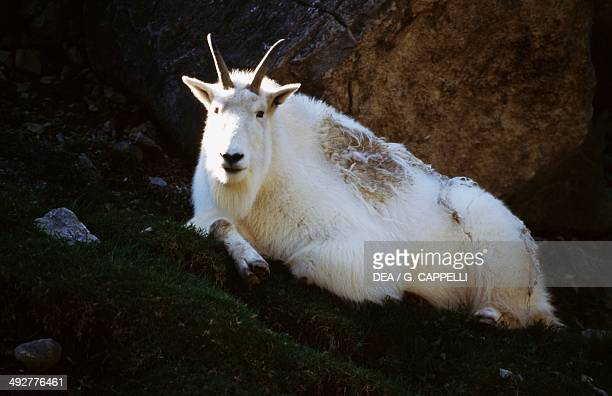 Mountain goat or Rocky mountain goat Glacier National Park Montana United States of America
