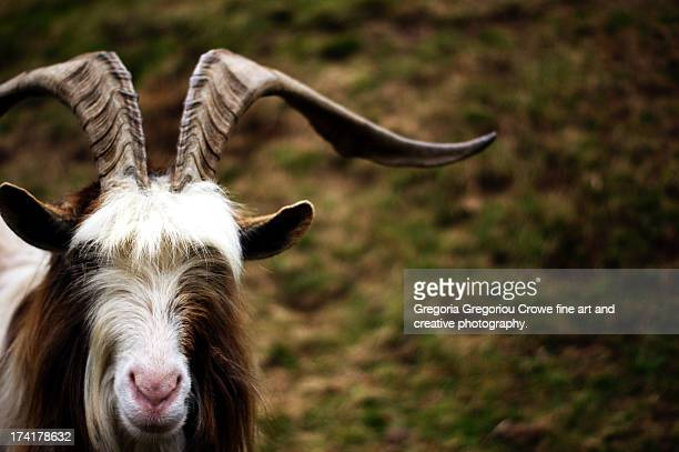 mountain goat - gregoria gregoriou crowe fine art and creative photography. stock pictures, royalty-free photos & images