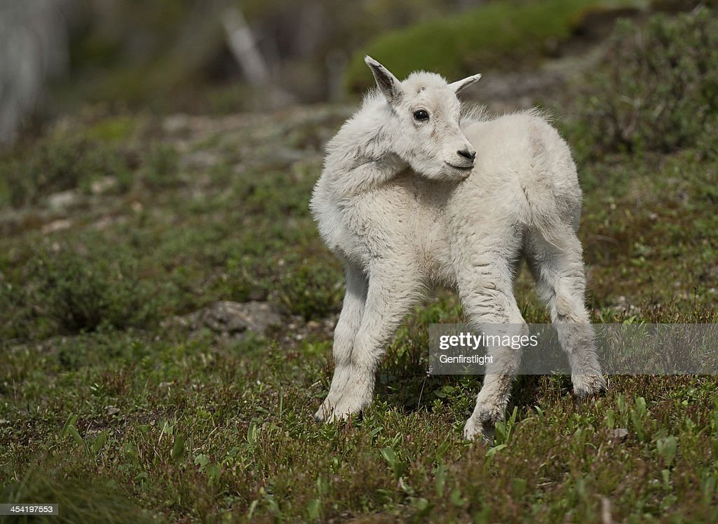 Cabra da montanha : Foto de stock