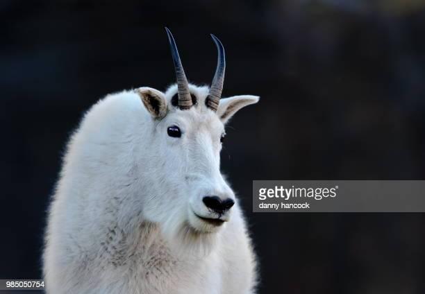 mountain goat portrait