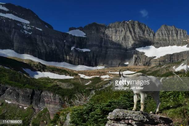 mountain goat poses beneath mountains, glacier national park, montana, usa. - parque nacional glacier - fotografias e filmes do acervo
