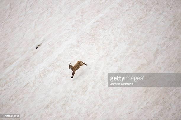 A mountain goat runnig down a hill.