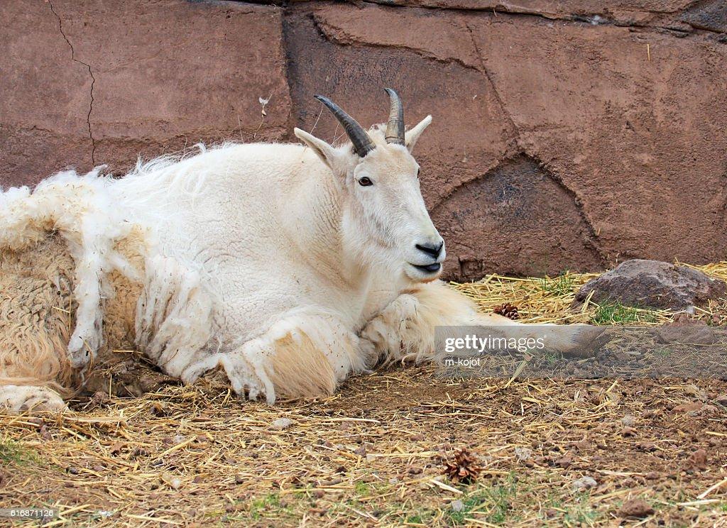 Mountain goat shedding winter coat : Stock Photo