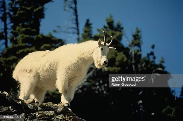 mountain goat standing on rocks, montana, usa - rainer grosskopf fotografías e imágenes de stock