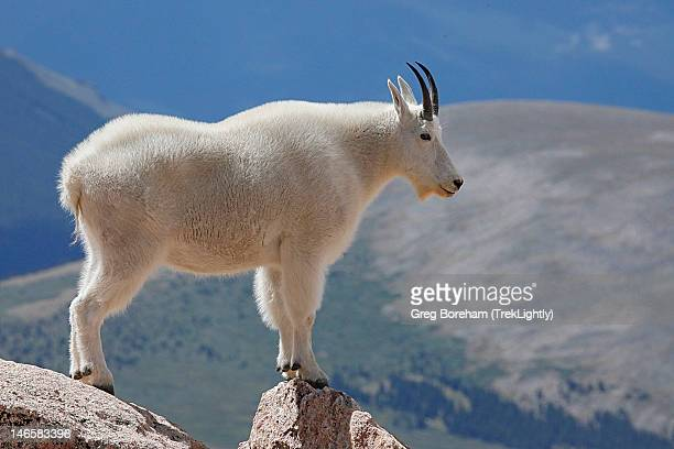 Mountain Goat standing on rocky ledge