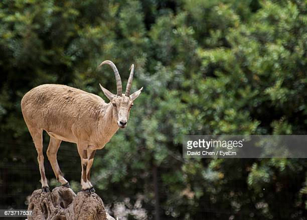 Mountain Goat Standing On Stone
