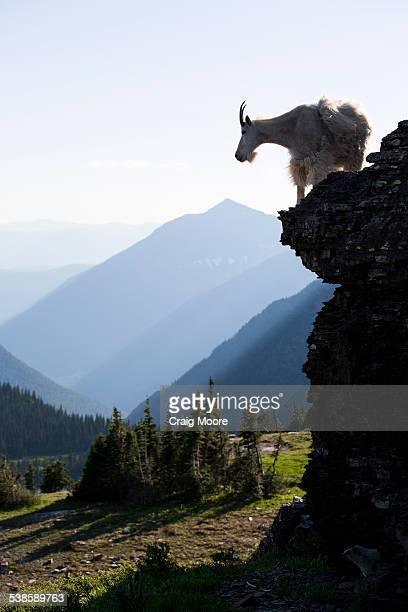 A mountain goat walks along a cliff in Glacier National Park, Montana.