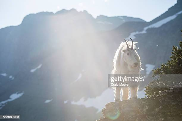 a mountain goat walks along a cliff in glacier national park, montana. - hairy bush stock pictures, royalty-free photos & images