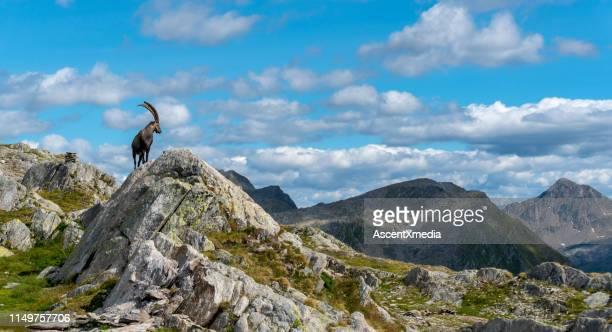 la capra di montagna cammina su un promontorio roccioso - fauna selvatica foto e immagini stock