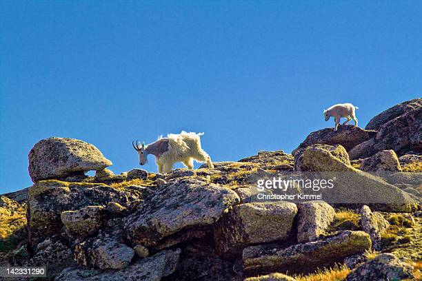 Mountain goat young and old