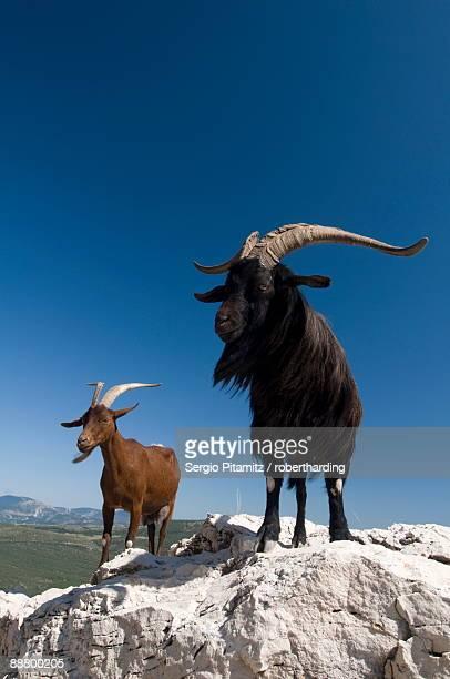 mountain goats, gorges du verdon, provence, france, europe - gorges du verdon photos et images de collection