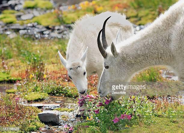 mountain goats pastando nos prados alpinos - parque nacional glacier - fotografias e filmes do acervo