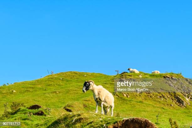 Mountain Goats On Field Against Clear Blue Sky