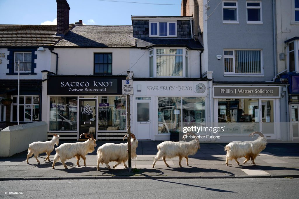 Goats Roam Welsh Town As Coronavirus Lockdown Empties Its Streets : Foto di attualità