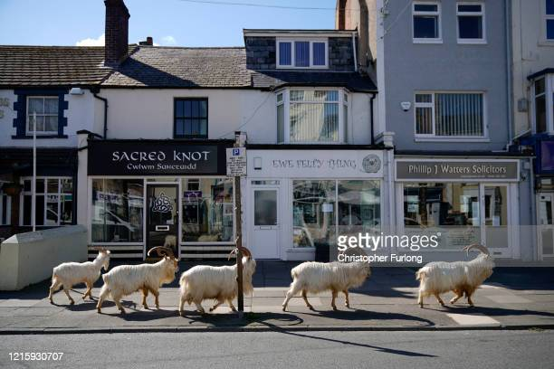 Mountain goats roam the streets of LLandudno on March 31, 2020 in Llandudno, Wales. The goats normally live on the rocky Great Orme but are...