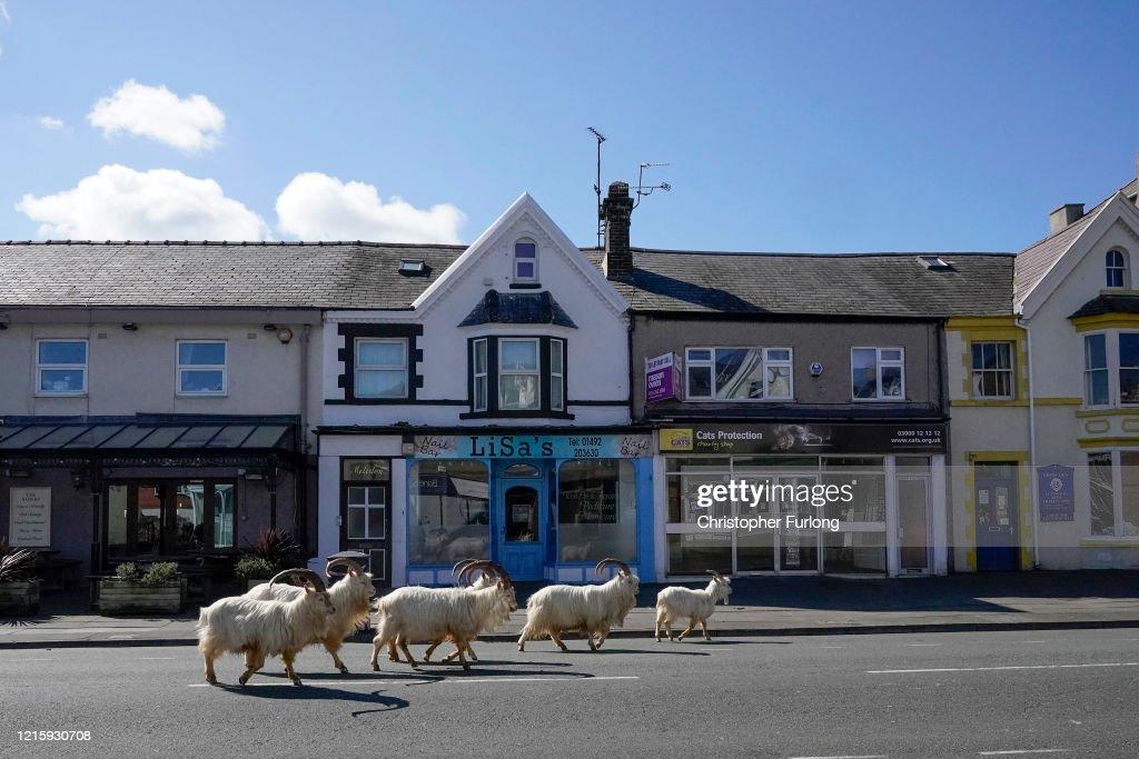 Goats Roam Welsh Town As Coronavirus Lockdown Empties Its Streets : News Photo