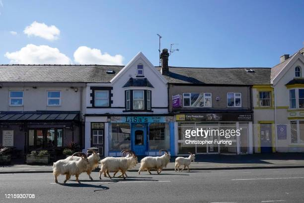 Mountain goats roam the streets of LLandudno on March 31 2020 in Llandudno Wales The goats normally live on the rocky Great Orme but are occasional...