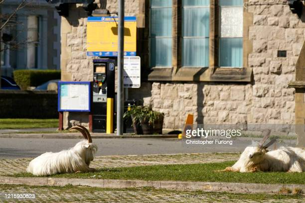 Mountain goats sunbathe in the grounds of Holy Trinity Church on March 31, 2020 in Llandudno, Wales. The goats normally live on the rocky Great Orme...