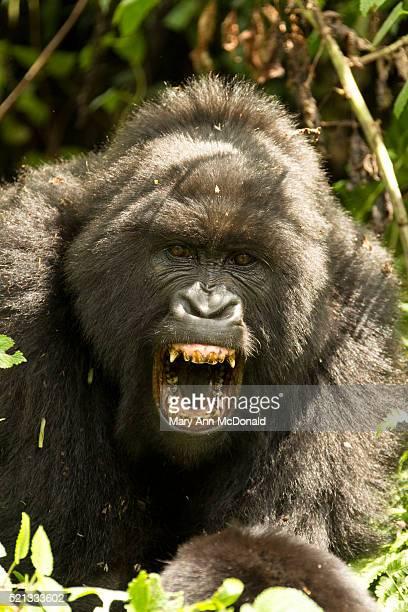 Mountain Gorilla angry