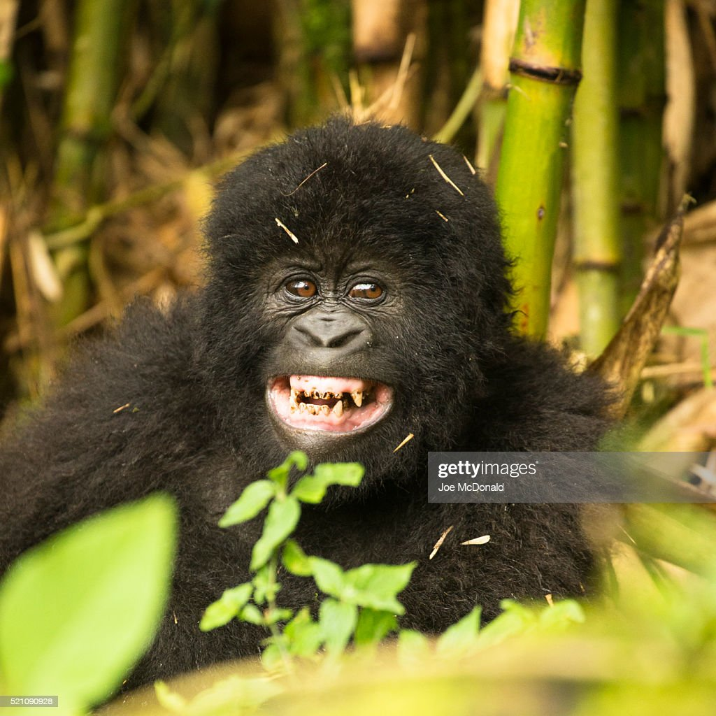 Mountain Gorilla, Gorilla beringei beringei, baby playing, Hirwa Group, in the vegetation of Volcanos National Park, Rwanda, Africa