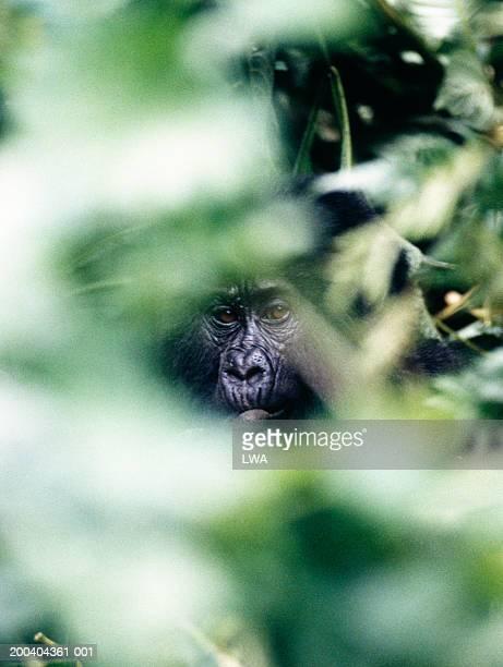Mountain gorilla (Gorilla gorilla beringei) behind foliage