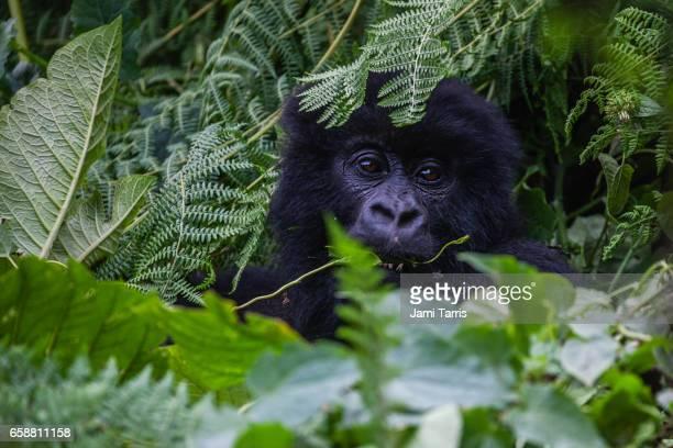 A mountain gorilla, close up