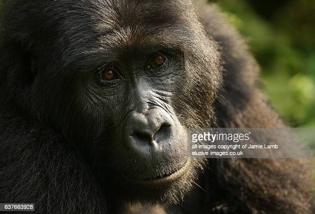 Mountain Gorilla close up portrait from Bweza group