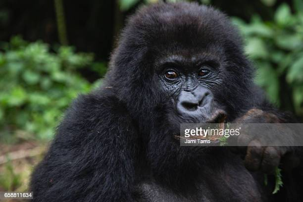 A mountain gorilla eating a branch, close up