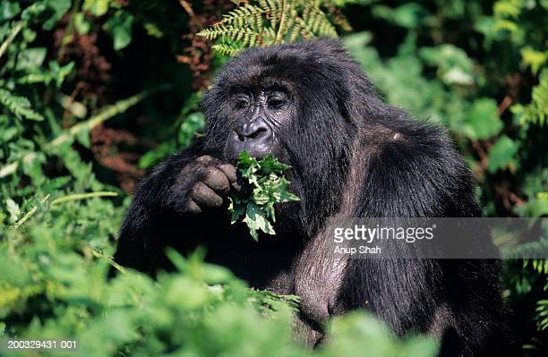 Mountain gorilla (Gorilla gorilla berengeii) eating leaves, Park du Volcanes, Rwanda