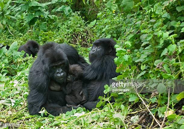 gorille des montagnes en famille - gorille photos et images de collection
