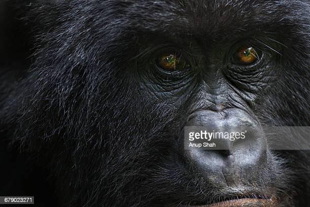 Mountain gorilla female portrait