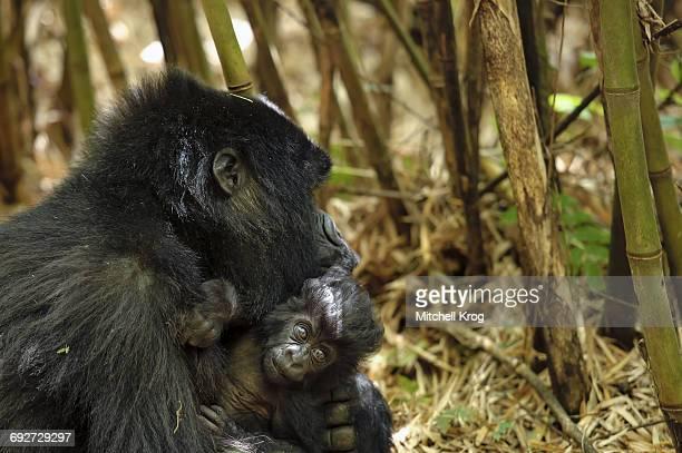 Mountain Gorilla (Gorilla gorilla beringei) female with baby, Parc National des Volcans, Rwanda, Africa