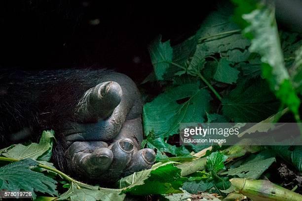 Mountain gorilla Gorilla beringei beringei detail of Hands Bwindi Impenetrable Forest Uganda
