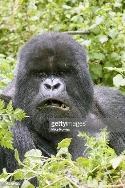Mountain gorilla, Gorilla gorilla beringei, Male Silverback mouth open, Viungas, Rwanda