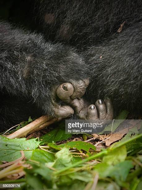 mountain gorilla hands, virunga national park, democratic republic of congo. - gorilla hand stock photos and pictures