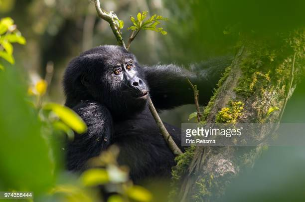 mountain gorilla in bwindi forest, nshongi, uganda - uganda stock pictures, royalty-free photos & images