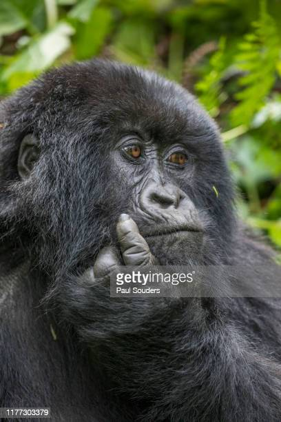 Mountain Gorilla in Forest, Volcanoes National Park, Rwanda