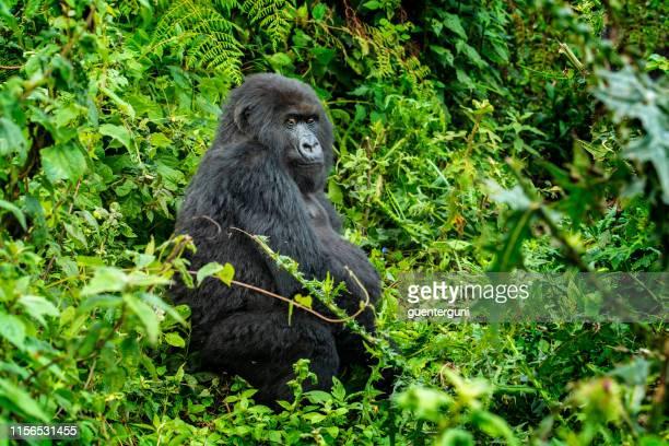 mountain gorilla (gorilla beringei beringei) in the jungle, rwanda - uganda stock pictures, royalty-free photos & images