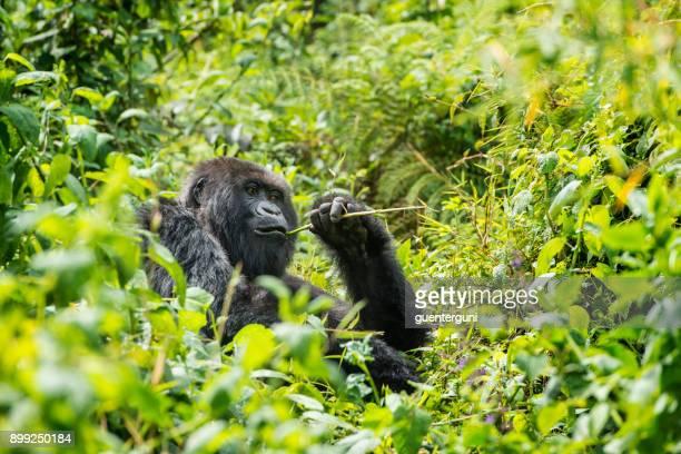 gorila de montaña (gorilla beringei beringei) en la selva, ruanda - ruanda fotografías e imágenes de stock