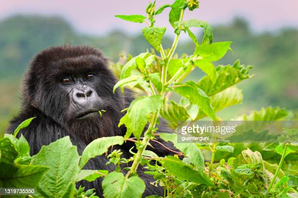 mountain gorilla (gorilla beringei beringei) in the virungas - rwanda stock pictures, royalty-free photos & images