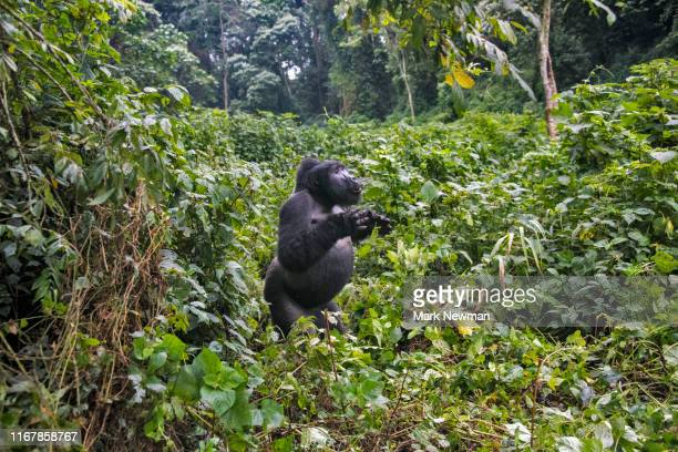 mountain gorilla in the wild - animals in the wild stock pictures, royalty-free photos & images