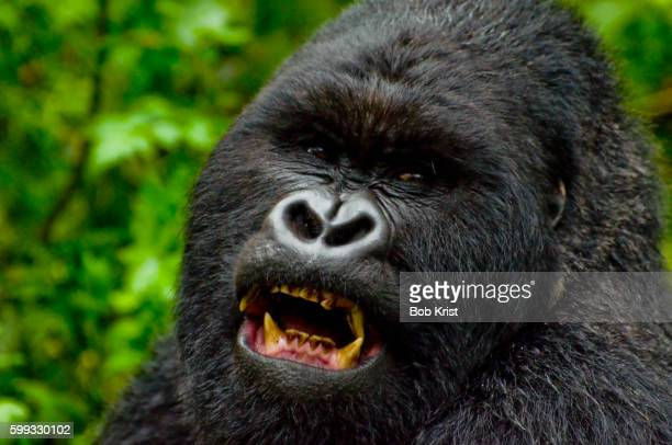 Mountain gorilla in Volcanoes National Park in Rwanda