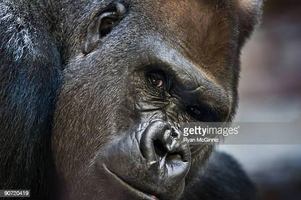 mountain gorilla introspective - ryan mcginnis stock photos and pictures