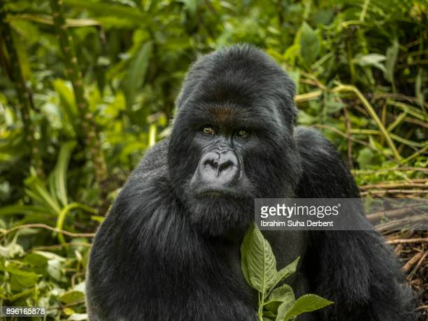 Mountain gorilla is sitting and observing.