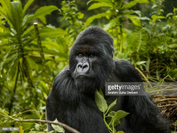 A mountain gorilla is sitting and observing.